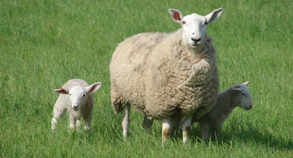 ewe-and-twins_web-large