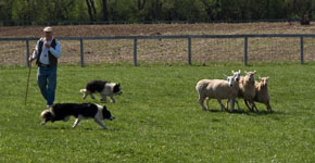 Our Border Collies will show how stock dogs help farmers at the demonstrations throughout the year.