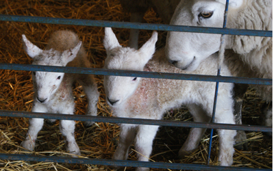 Heatherhope's first lambs of 2014. A ewe-lamb on the left and a ram-lamb on the right. Photo by John