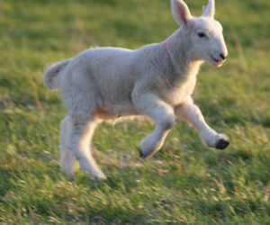 Young lambs delight in putting their new legs to the test! Photo by John