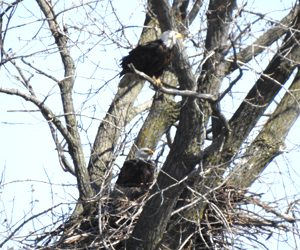 A pair of bald eagles nesting about a mile from Heatherhope. Photo by John