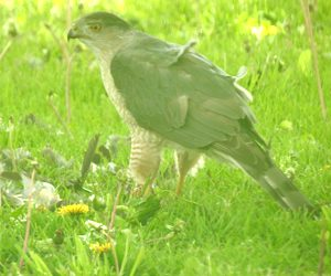 A Merlin falcon in our back yard, finishing off his dinner of a grackle. Photo by John
