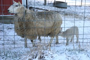 Ten days before putting our ewes and lambs on pasture we contended with snow. Photo by John