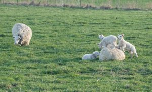 Ewe with triplets chill out on the first day of pasture. The great AAAAHHHHH! Photo by John