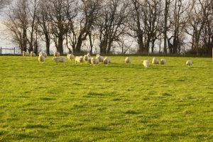 Sheep safely graze in the golden mid-April sun. Photo by John