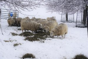 Sheep munch on the hay with about four inches of snow on the ground. Photo by John